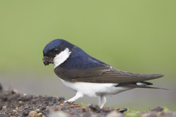 A house martin collecting mud
