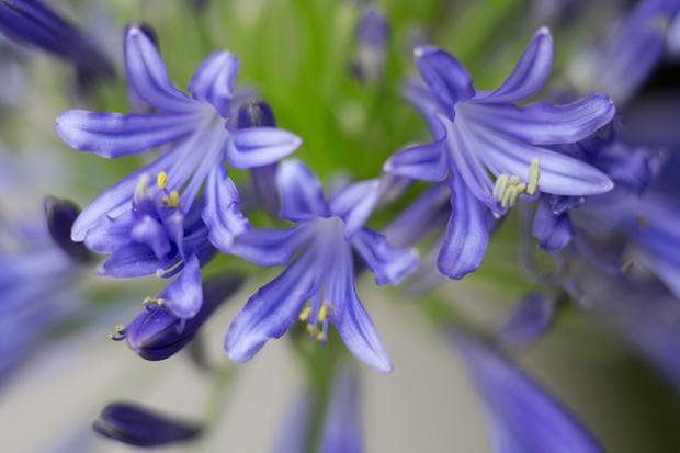 agapanthus-hoyland-chelsea-blue-2