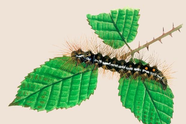 browntail-euproctis-chrysorrhoea-2