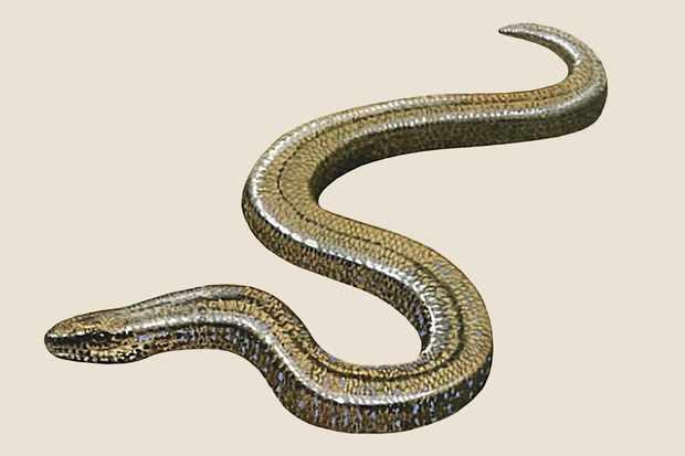 slow-worm-3