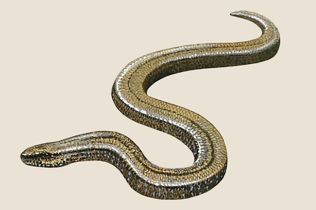 Slow worm (Anguis fragilis) illustration