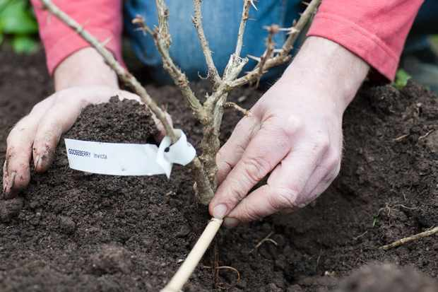 Planting a bareroot gooseberry