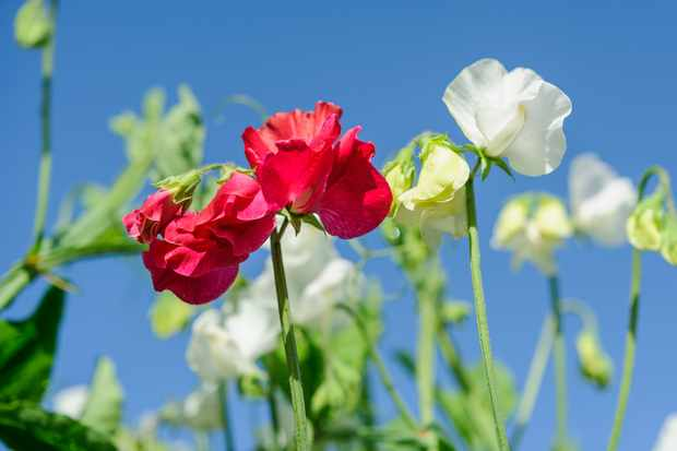 How to Prolong Sweet Peas