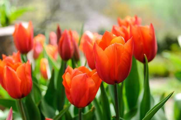 tulipa-brown-sugar-2