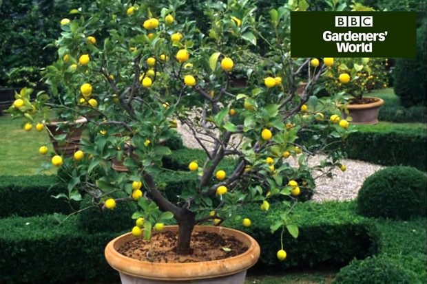 How to repot citrus trees