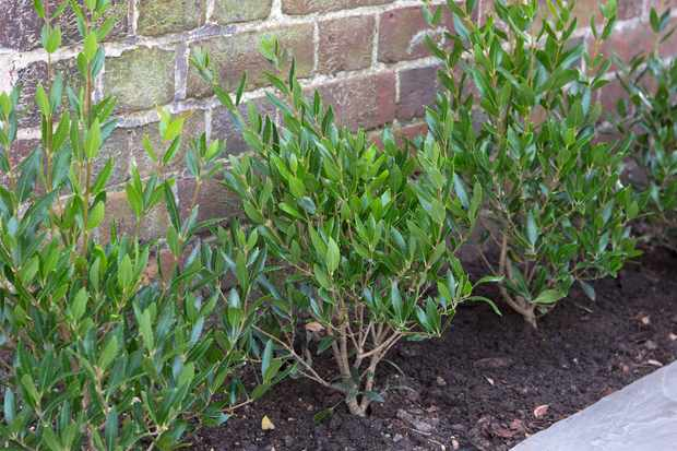 phillyrea-angustifolia-2