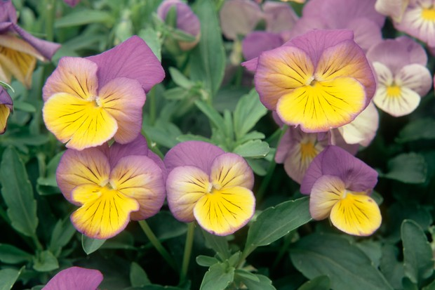 Mauve and yellow flowers of pansy 'Ultima Morpho'