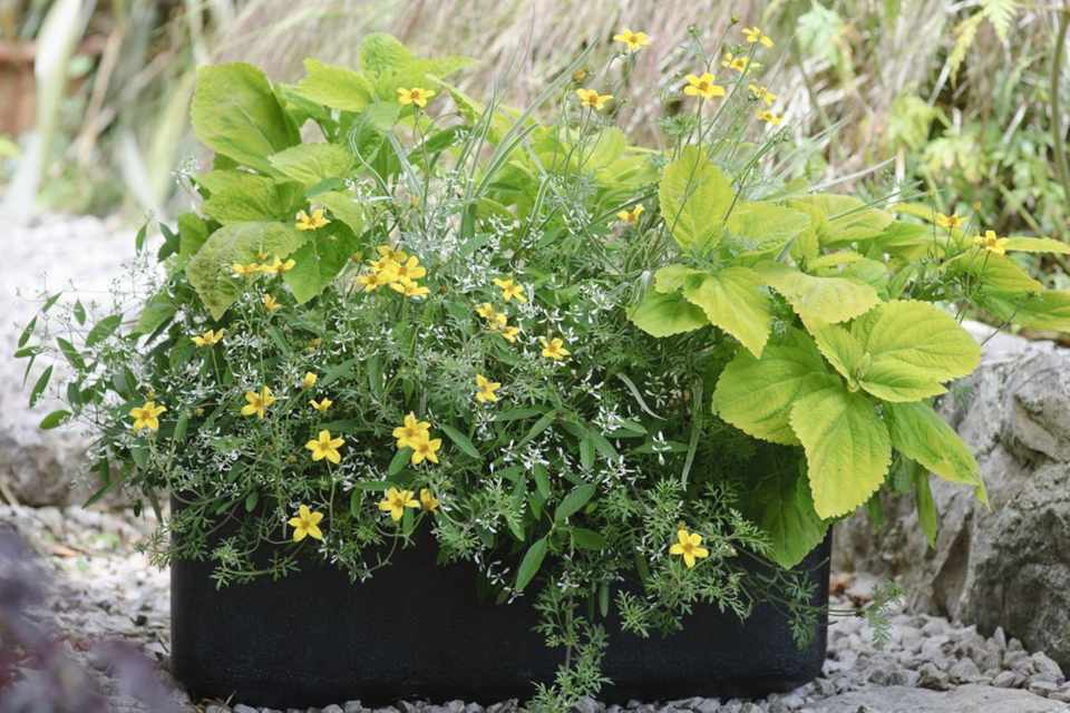 Euphorbia, coleus and bidens window box
