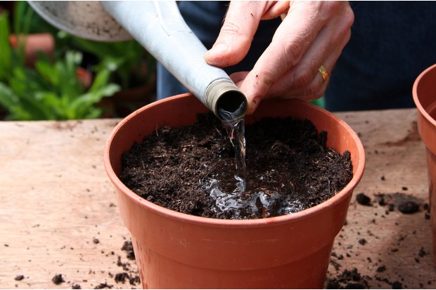 How to grow gloriosa - watering the compost