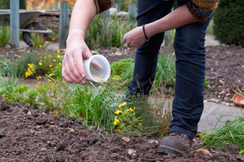 Sowing green manure