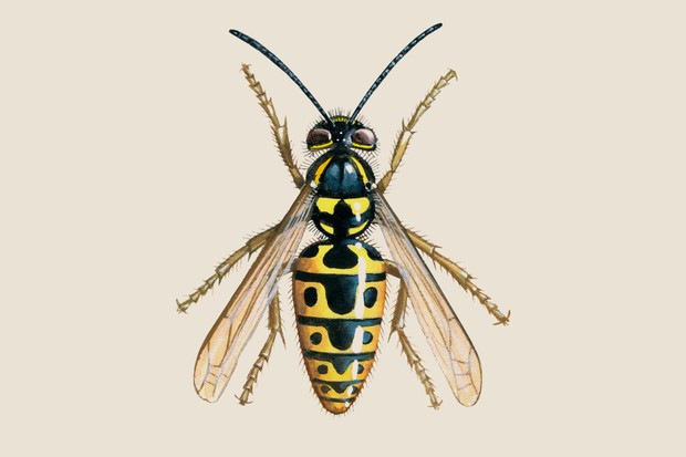 Illustration of the yellow and black common social wasp