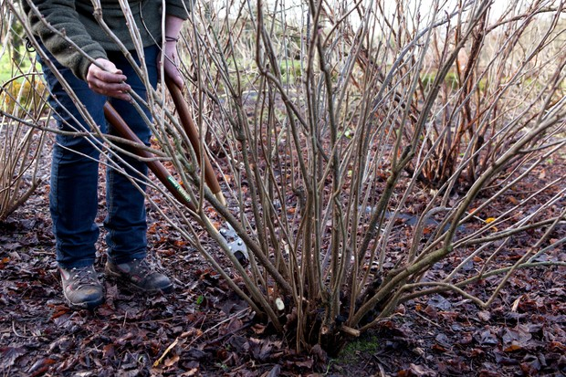 Pruning blackcurrants
