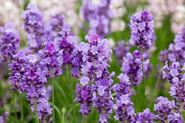 lavandula-angustifolia-purple-treasure-2