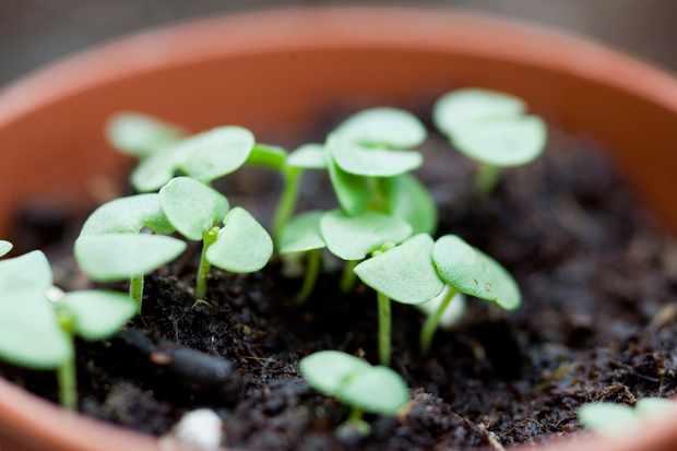 basil-seedlings-2