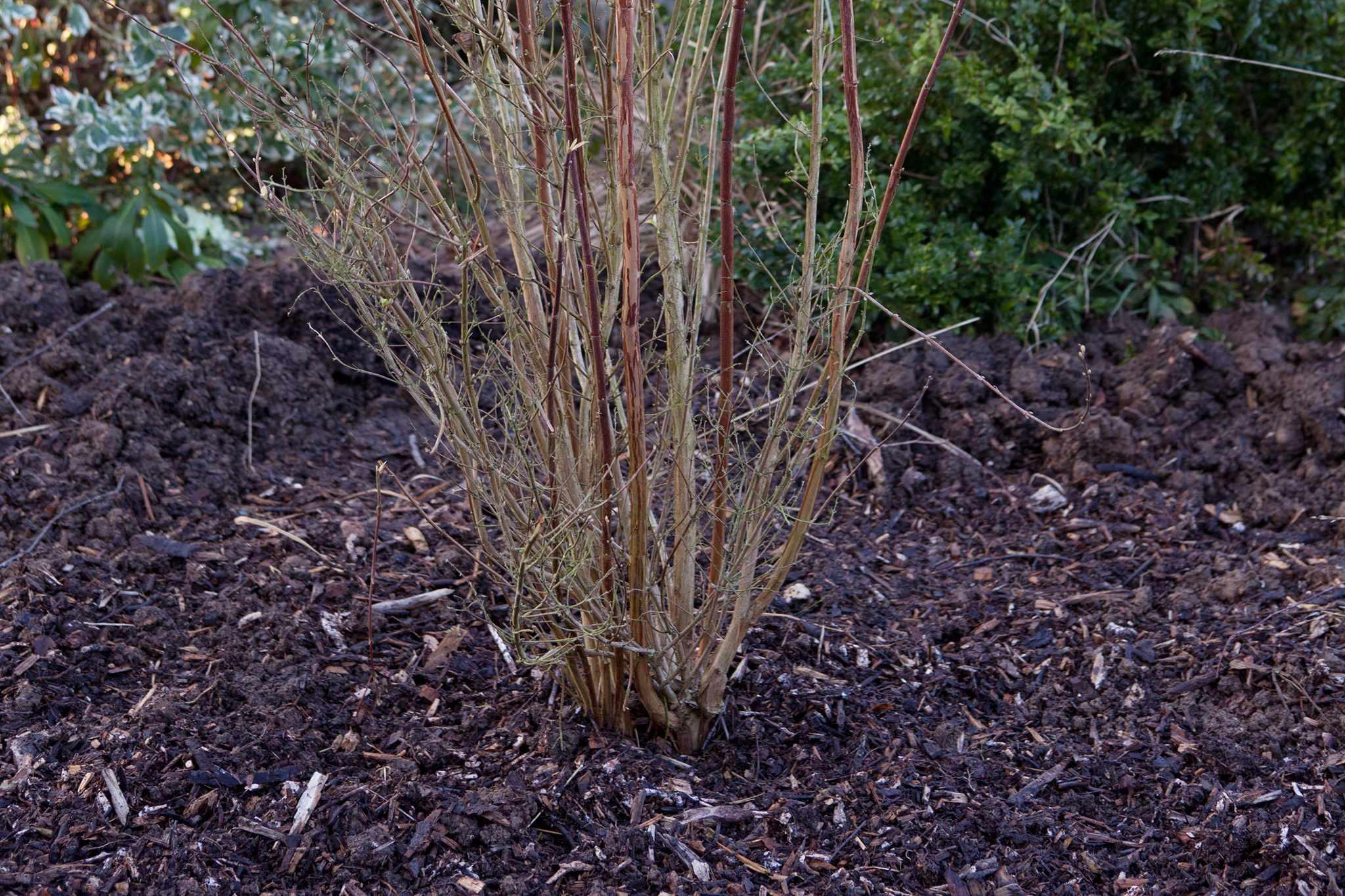 Newly planted shrub