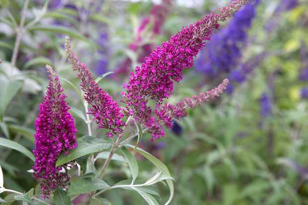 Buddleja 'Summer Beauty''