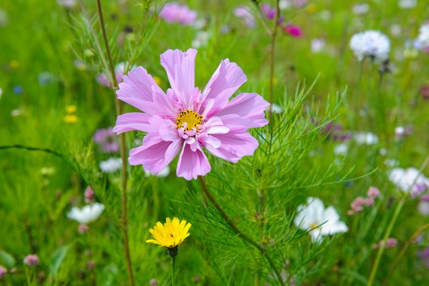 10-colourful-cosmos-to-grow-2