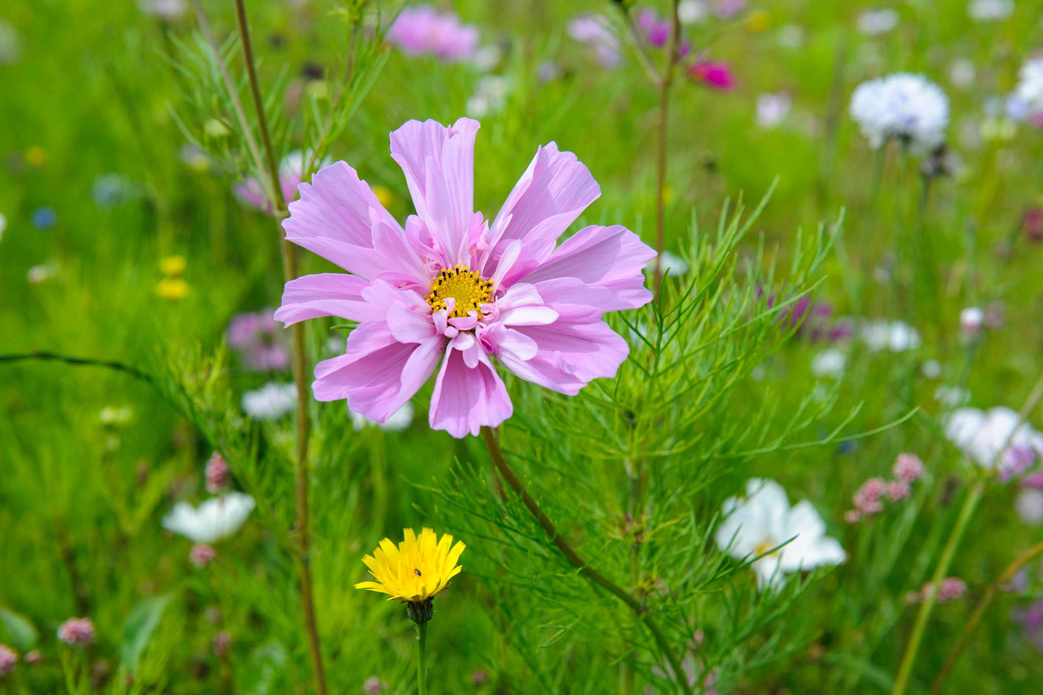 10 colourful cosmos to grow