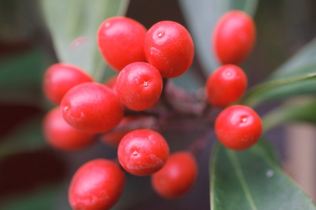 skimmia-japonica-subsp-reevesiana-2