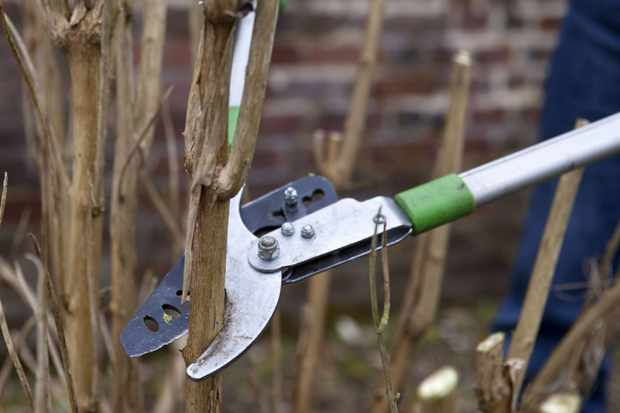 Pruning a buddleia with long-handled secateurs