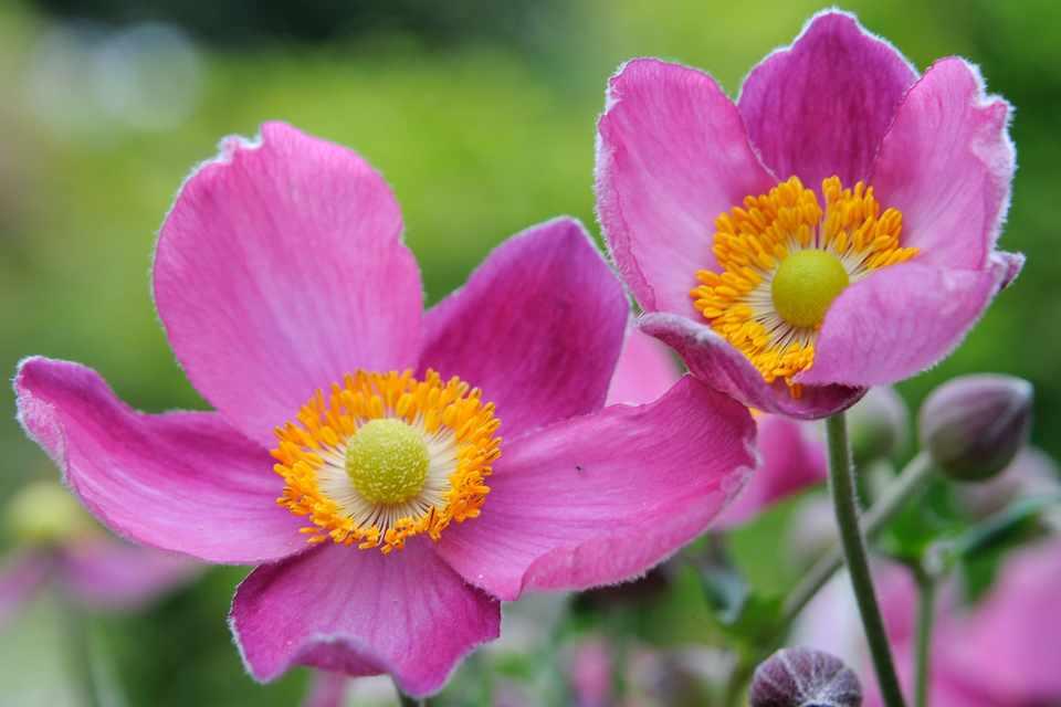 Pink Japanese anemones