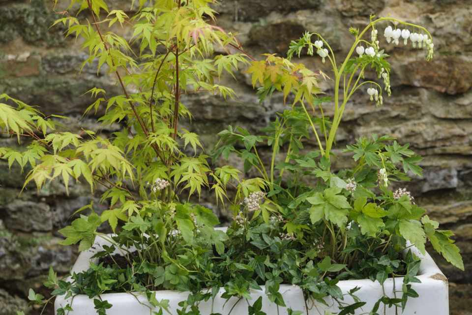 Acer and bleeding heart container display