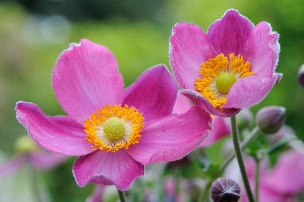 pink-japanese-anemone-2