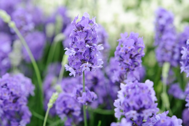 Best lavenders to grow - 'Lullaby Blue'
