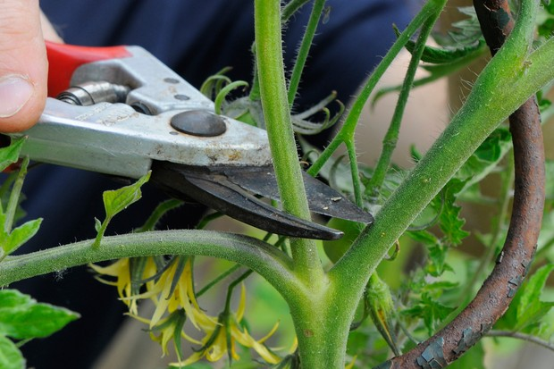 How to grow tomato plants from cuttings - cutting off side shoots