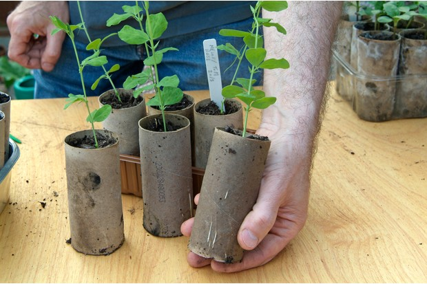 Sowing sweet peas - potting on young plants
