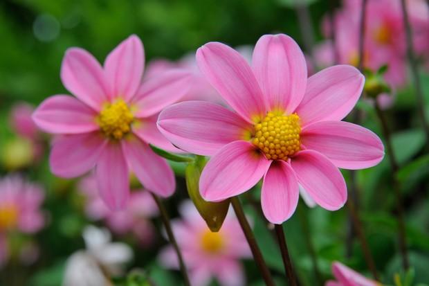 dahlia-topmix-pink-2