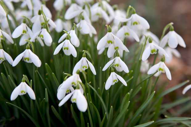 clump-of-snowdrops-4