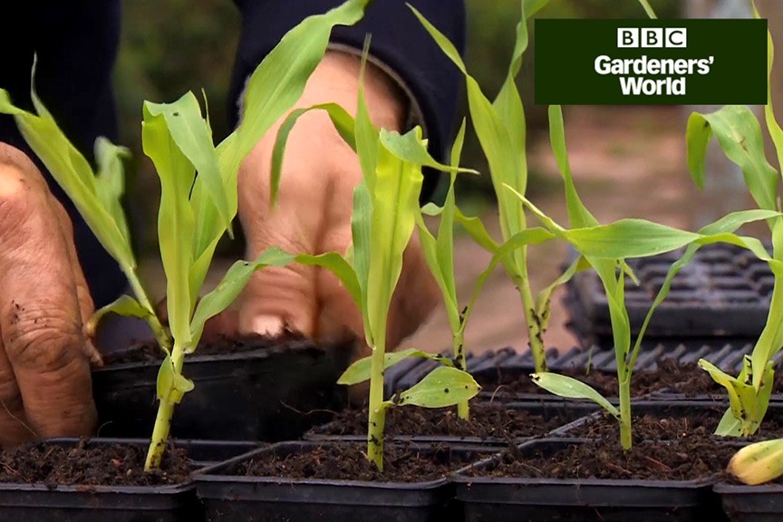 How to pot up young sweetcorn plants video