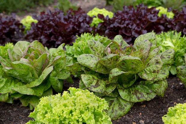 lettuce-varieties-4