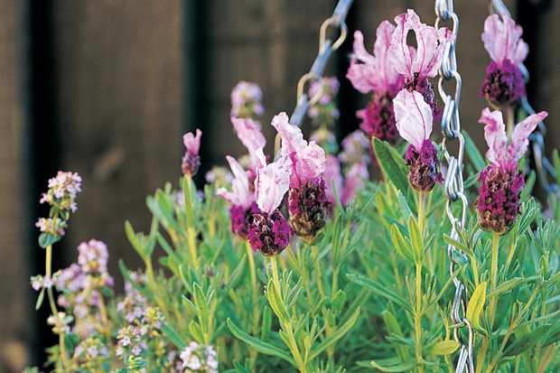 Lavender and thyme hanging basket