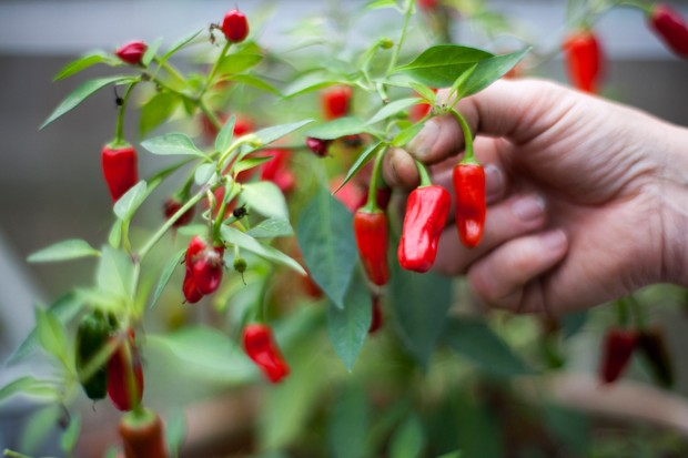 harvesting-chillies-2