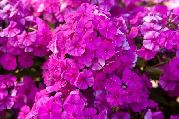 Vibrant pink phlox flowers
