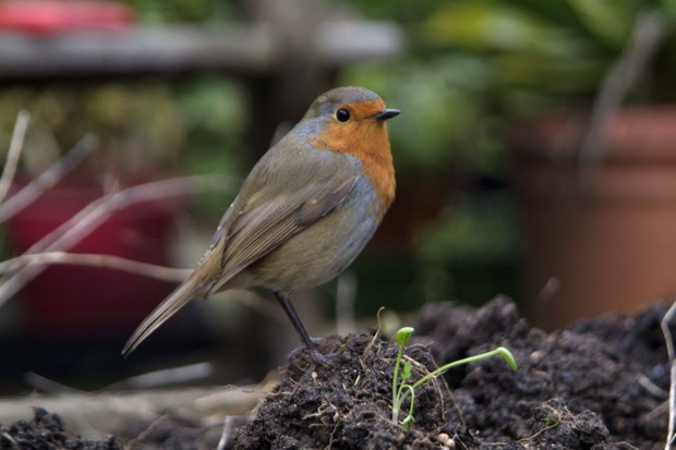 A robin perched on the ground