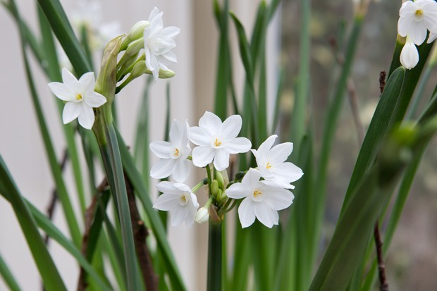 paperwhite-narcissi-13