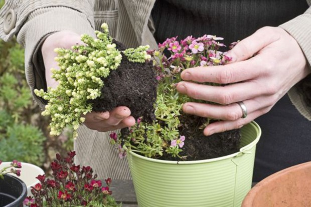 Planting the saxifrage