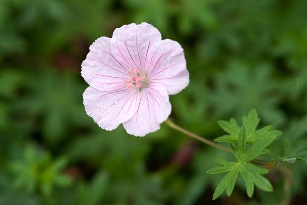 geranium-sanguineum-var-striatum-7