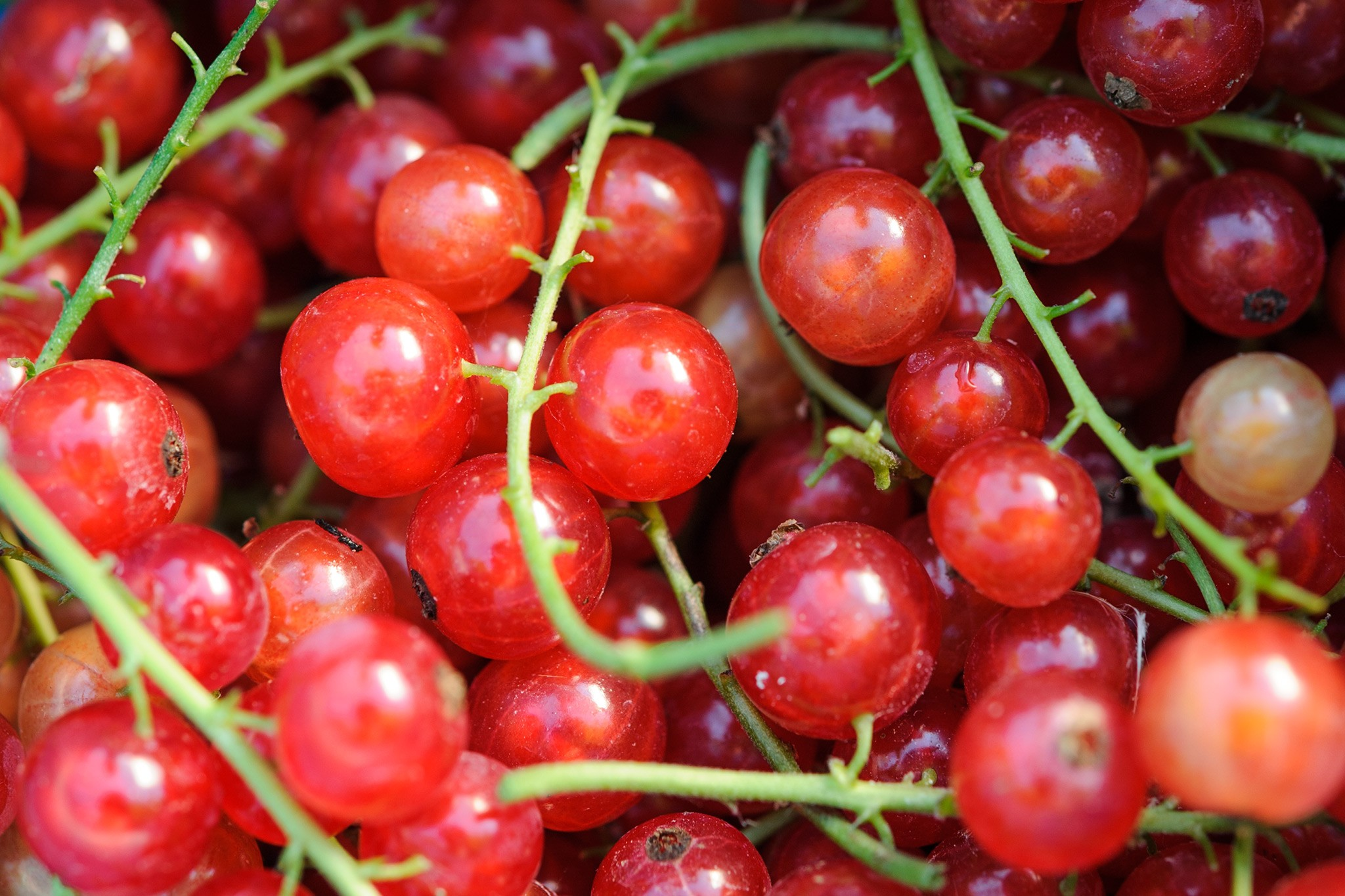 How to prune redcurrants and gooseberries video