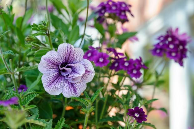 petunia-priscilla-tumbelina-series-2