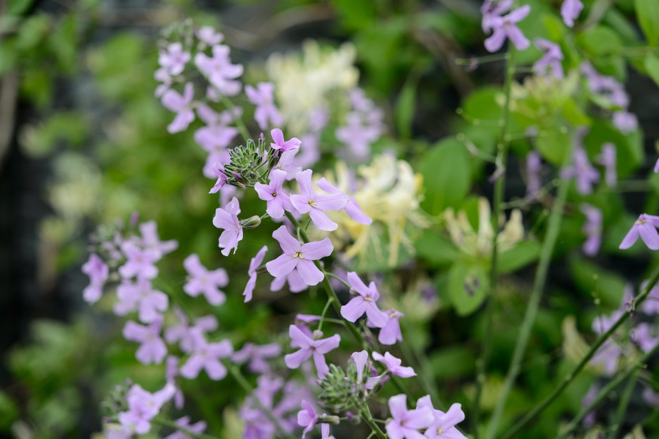 12 Plants For Evening Scent Bbc Gardeners World Magazine