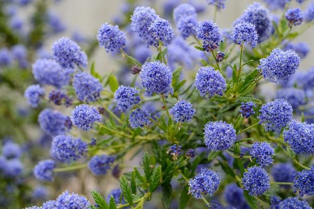 Blue caenothus flowers