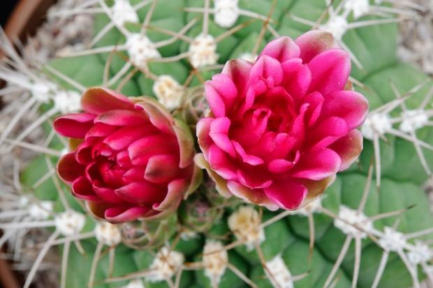 Gymnocalycium oehnanthemum x horstii with ruby-coloured flowers
