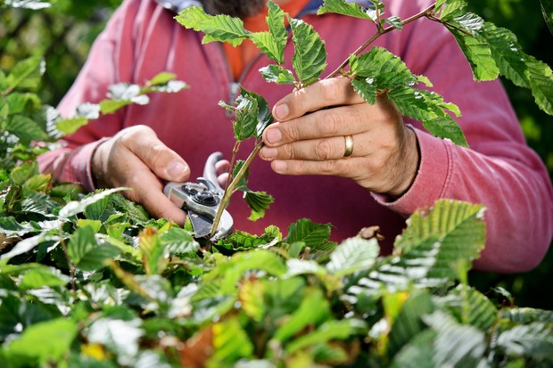 Pruning back each hedge shoot