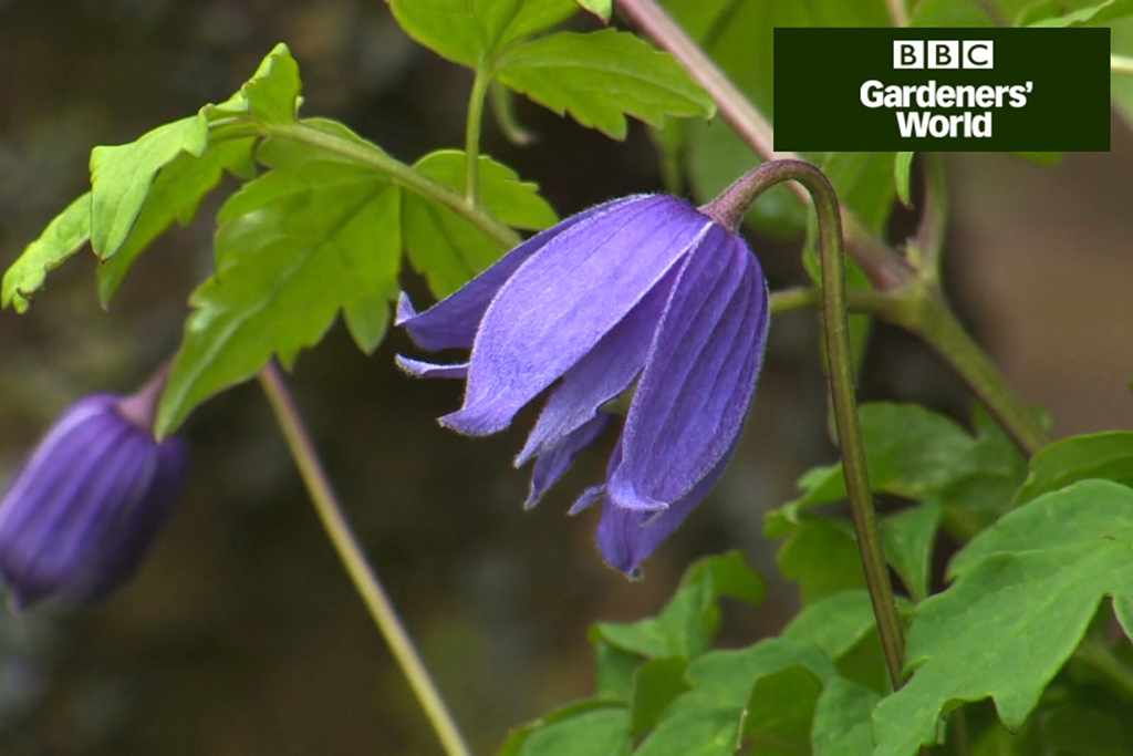 Planting spring-flowering clematis video
