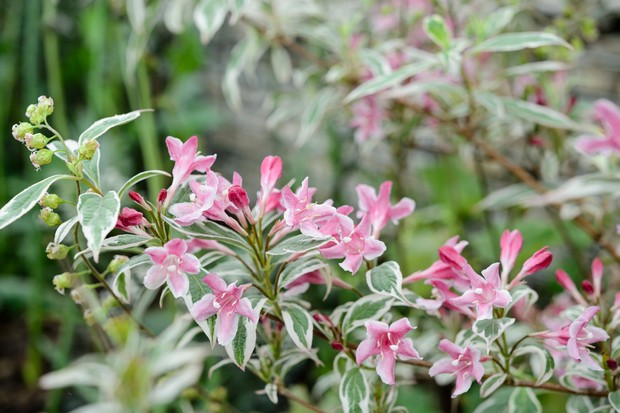 Pink-flowered weigela