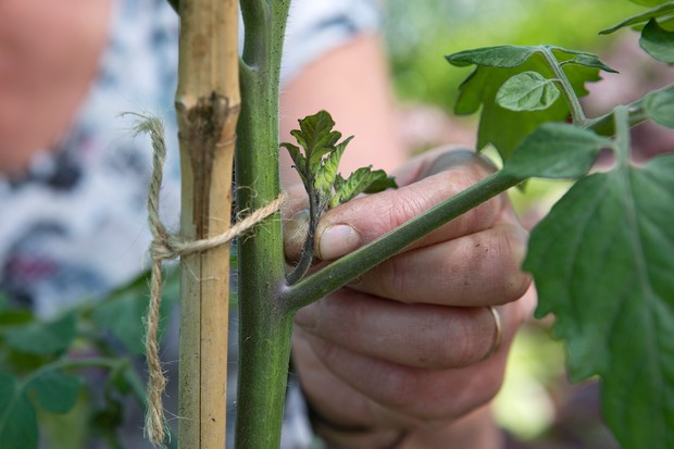Pinching out a sideshoot from a tomato plant